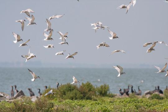 Groep visdieven vliegt boven de kolonie