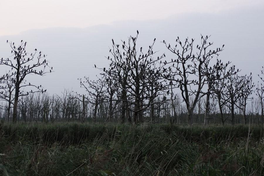 Aalscholver slaapbomen